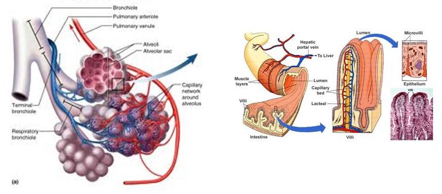 Interface Map Human Organ Systems - Carmel High School