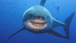 Shark img