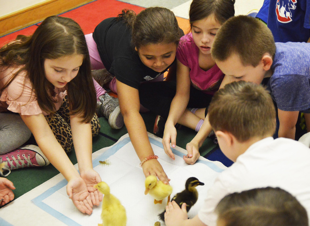 Ducklings hatched at Hawthorne